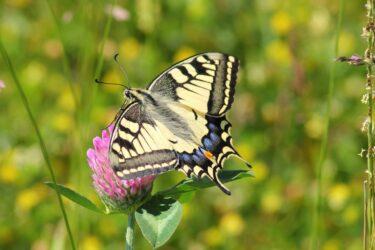アゲハ蝶のスピリチュアル|羽根の色&見た状況が教えてくれる神様からのメッセージ